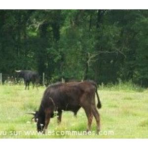 Vaches Pour la Course Landaise